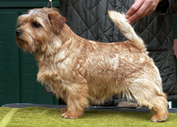 Norfolk Terrier - Quelle: http://www.allright-norfolkterrier.de