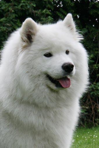 Hundefotos - Quelle: http://www.samojede.org