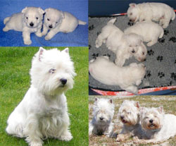 West Highland White Terrier - Quelle: http://www.ofrainbowpalace.de