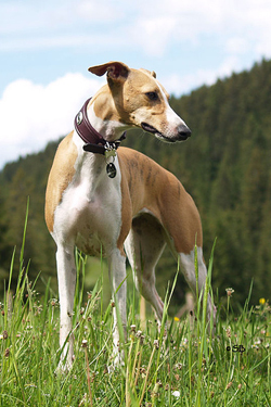Hundefotos - Quelle: http://www.animagi-whippets.at