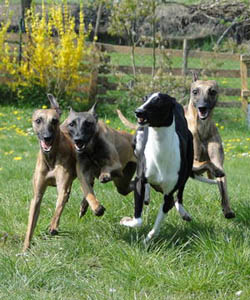 Whippet - Quelle: http://www.of-lordly-essence.blogspot.com
